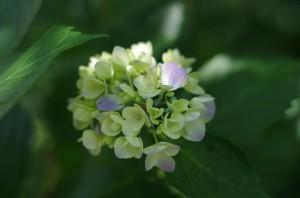 小さい紫陽花ですね