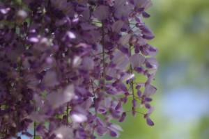 藤の花も綺麗ですね