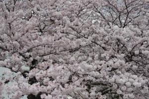画面いっぱいに満開の桜