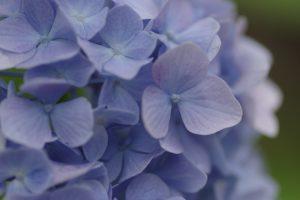 紫陽花も満開です